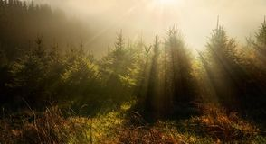 Fir trees in very moody light royalty free stock photo