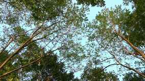 The fir trees. The view from the bottom of the sky among the trees stock video footage