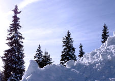 Fir trees by winter Royalty Free Stock Photo