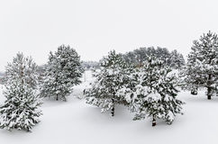 Fir Trees Royalty Free Stock Photography