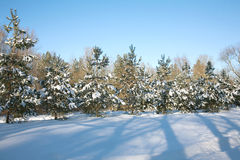 Fir-trees in winter forest Royalty Free Stock Photos