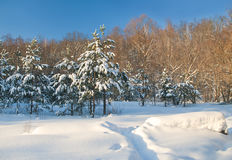 Fir trees in winter forest Royalty Free Stock Photo