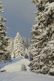 Fir trees in winter, Jura mountain, Switzerland Royalty Free Stock Photos