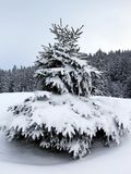 Fir trees in winter, Jura mountain, Switzerland Stock Images