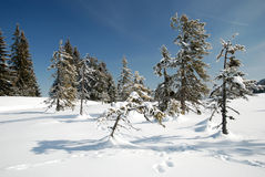 Fir trees in winter season Royalty Free Stock Photos