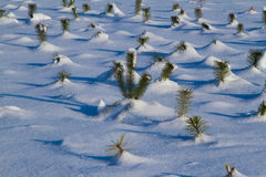 Fir trees in winter snow Stock Photography