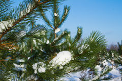 Fir trees in winter snow Stock Images