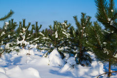 Fir trees in winter snow Stock Image