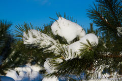 Fir trees in winter snow Stock Photo