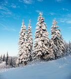 Fir-trees in winter sunny day Royalty Free Stock Photography