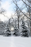 Fir trees in wintry forest Stock Photos