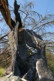 Fir trunk hit by lightning, after a hard storm Royalty Free Stock Photography