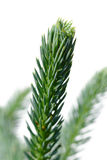 Fir twig. Stock Photography