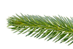 Fir twig. Stock Photos
