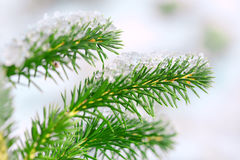 Fir twig. Royalty Free Stock Images