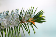 Fir twig. Stock Images