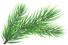 Fir twig Stock Image