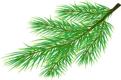 Fir Twig Royalty Free Stock Image
