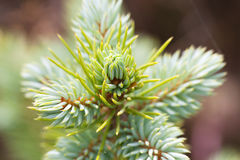 Fir twig. Royalty Free Stock Photography