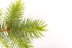 Fir twig Royalty Free Stock Photo
