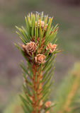 Fir twig with young cones Stock Photos