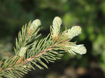 Fir twig with young sprouts Stock Photography