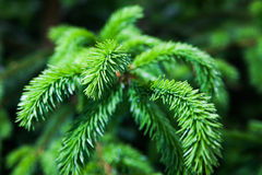 Fir twigs. Stock Image