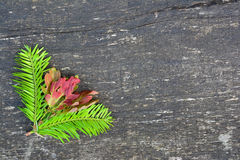 Fir twigs and oak leaves background Royalty Free Stock Image