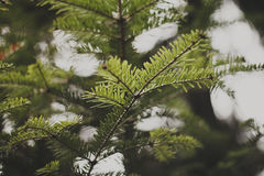 Fir twigs Royalty Free Stock Images