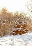 Fir under snow on sunny winter day Stock Photo