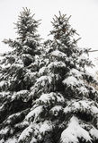 Fir under snow Royalty Free Stock Photo