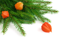 Fir and winter cherry. Close up of fir branch with winter cherry  (Physalis alkekengi) isolated on white, selective focus Stock Image
