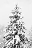 Fir in winter forest Stock Photo