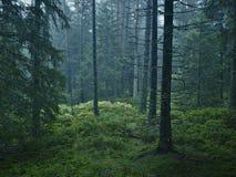 Fir wood autumn fern Stock Photo