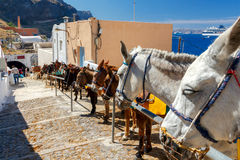 Fira. Donkeys on the island of Santorini. Stock Images