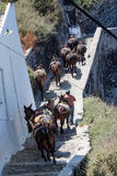Fira Santorini osły Zdjęcia Royalty Free