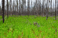 After the Fire. Young Lodgepole Pine Trees Growing After A Forest Fire Royalty Free Stock Photo