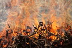 Fire. Burning of dry mango leaves in the paddy field in February 2014 Stock Photo