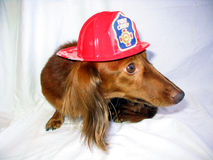 Is that a Fire?!. Miniature Dachschund the Fire Chief Stock Photography