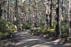 A fire access road makes its way through a forest. A fire access road threads its way through an evergreen eucalypt forest with a ferny understory in a highland Royalty Free Stock Images