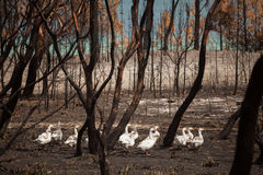 Fire Aftermath Tasmania Royalty Free Stock Photography