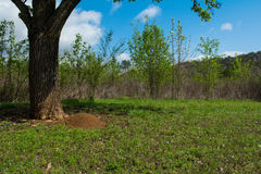 Fire Ant Mound Royalty Free Stock Photo