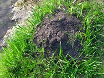Fire Ant Mound. A Fire Ant Mound surround by green grass stock photo
