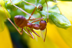Fire ant worker Stock Photography
