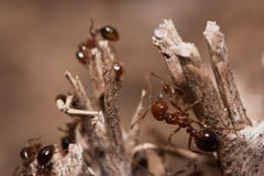 Fire Ants Royalty Free Stock Images