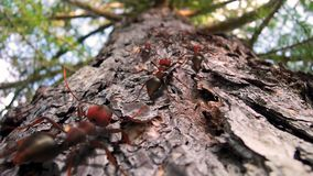 Fire ants crawling up a pine tree royalty free stock photos