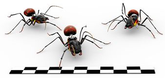 Fire Ants Crossing Finish Line. Three fire ants crossing the finish line Royalty Free Stock Images