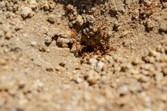 Fire Ants in Lakeside stock photography