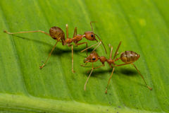 Fire ants meeting on banana leaf. Close up ,fire ants meeting on banana leaf Stock Photo
