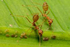 Fire ants meeting on banana leaf Royalty Free Stock Photos